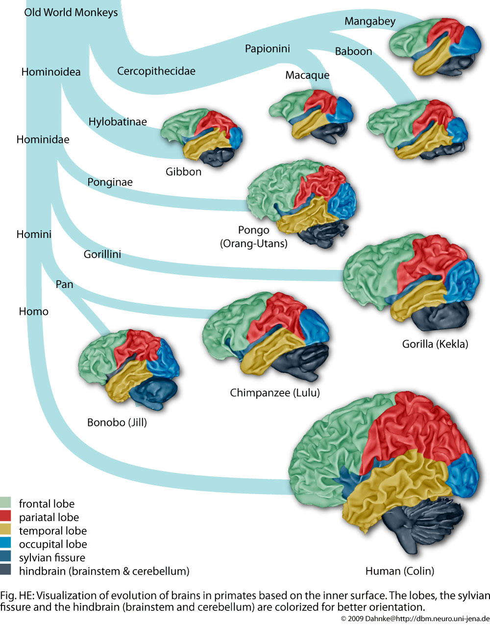 human development brain This early period of development, (conception to ages 6-8), affects the next stage of human development, as well as the later stages.